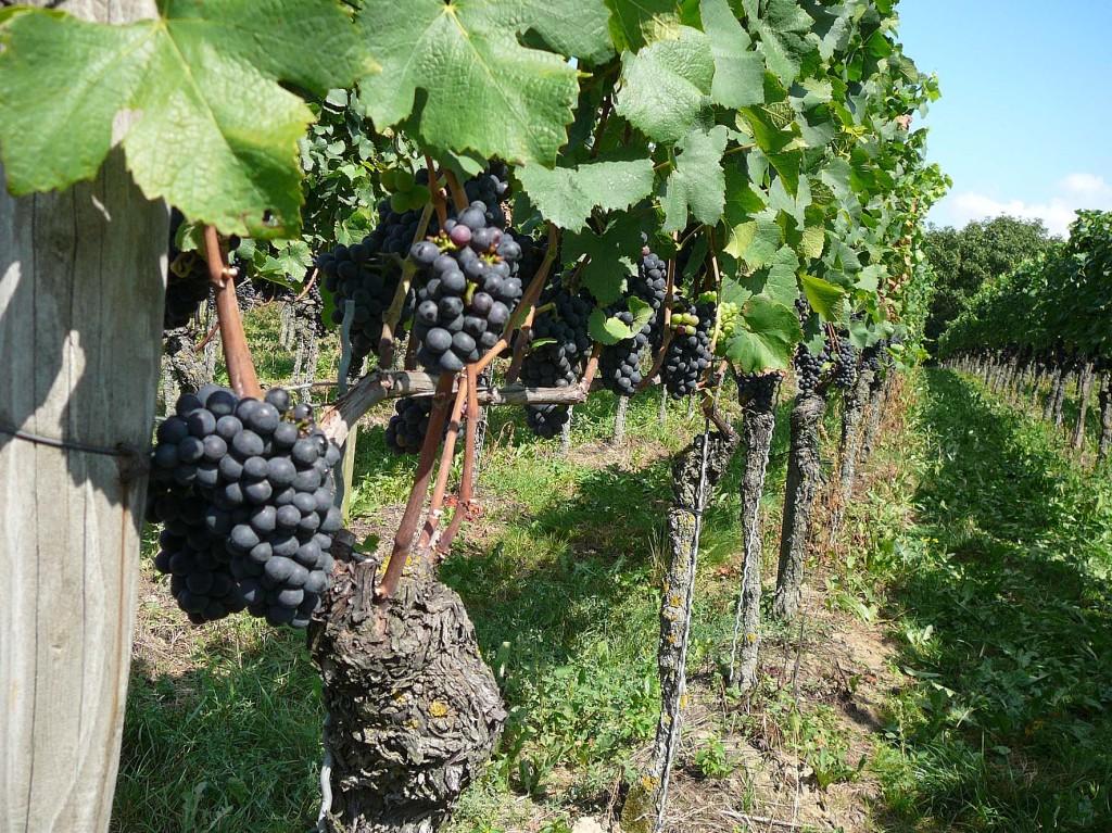 4   Weinbau und Ernte - Guter Jahrgang